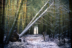 Too Much for Some (gerainte1) Tags: trees woodland forest winter snow colour