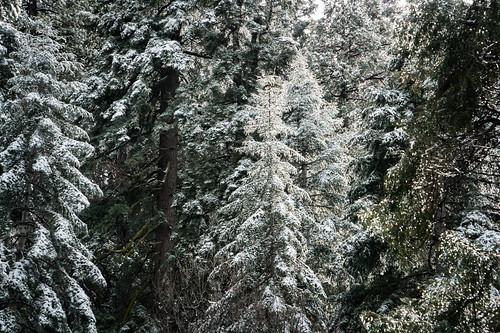 Evergreens with Snow - Lake Arrowhead, California