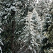 Evergreens with Snow - Lake Arrowhead, California