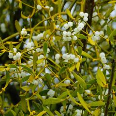 Mid-March mistletoe, Shottery (Dave_A_2007) Tags: berry fruit mistletoe nature plant stratforduponavon warwickshire england