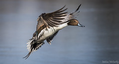 Northern Pintail (Melissa M McCarthy) Tags: northernpintail pintail duck waterfowl waterbird bird animal nature outdoor neutral winter brown birdinflight bif flying motion action blue stjohns newfoundland canada canon7dmarkii canon100400isii