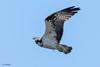 Aguila Pescadora-10 (J13Bez) Tags: 150600 aguilapescadora aves costa d7200 estrecho naturaleza pajaros puntacarnero eagle bird pescadora