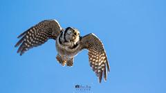 1T0A0264 (idvisions) Tags: wildlife wings explore thewonderfulworldofbirds outdoor bird birds birdinflight owl owls naturephotography naturephotos canoneos7d northernhawkowl