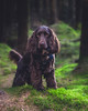 Bear in the Forest (målmal) Tags: miloandbear dog dogs puppy spaniel cockerspaniel woods forest trees chocolate