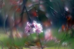 Flor con Helios 44M-4 (lente invertida) (joseange) Tags: helios44m softness eccentricties swirlybokeh flores macro ngc