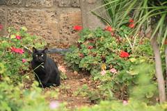 Lebanon (kozya27) Tags: lebanon middleeast byblos blackcat