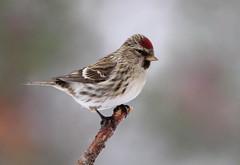 Sizerin (Marie-Helene Levesque) Tags: oiseau abitibi valdor côtede100pieds loft sizerin mariehélène mariehelene