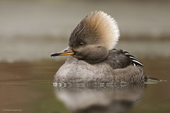 Hooded Merganser | Harle couronné (shimmeringenergy) Tags: hoodedmerganser harlecouronné lophodytescucullatus vancouver britishcolumbia canoneos7dmarkii ef100400f4556lisiiusm