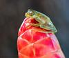 glass flog (marianna_a.) Tags: p1920639 frog costarica amphibian tiny green live animal mariannaarmata