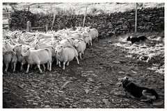Keeping the sheep at bay... (zapperthesnapper) Tags: sonyrx100 sonyimages sonycybershot sony cumbria sheep sheepdog rural farmanimals