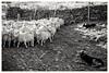 Keeping the sheep at bay... (zapperthesnapper) Tags: sonyrx100 sonyimages sonycybershot sony cumbria sheep sheepdog rural farmanimals