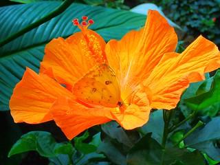 Farfalla sul fiore di ibisco