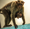 Care of a Mother (harikr16) Tags: mother monkey animal child care love safe baby
