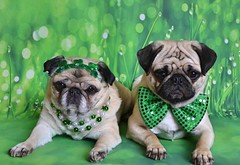 The Puglets Are St. Patrick's Day Ready! (DaPuglet) Tags: pug pugs dog dogs animal animals pet pets costume irish stpatricksday patrick holiday green coth5 alittlebeauty fantasticnature clydesfriends