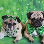 The Puglets Are St. Patrick's Day Ready! thumbnail