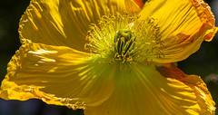 Besoin de soleil ? le printemps tarde un peu...  (In need of sun ? Spring is a bit late...) (Larch) Tags: flower plant plante pétale pavot poppy soleil sun sallanches hautesavoie france lumière light pistil stamen besoin need