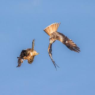 Red Kites at play