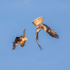 Red Kites at play (DP the snapper) Tags: fighting diving redkite playing gigrinfarm