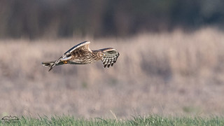 Busard femelle en chasse-2