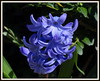 (uncle mike in knoxville) Tags: flower spring hyacinth