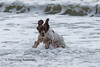 Water game (Flemming Andersen) Tags: zigzag spaniel pet nature water dog hund outdoor ears cocker blue animal