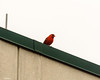 Cardinal Playing the Lookout (that_damn_duck) Tags: nature cardinal rooftop overcast