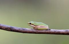Eastern Dwarf Tree-frog (Legobird3) Tags: frog frogs treefrog