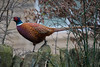 Pheasant (Tim Melling) Tags: phasianus colchicus ring necked pheasant male west yorkshire timmelling