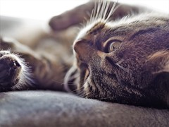 Müde (schasa68) Tags: katze cat pet haustier lebewesen animal ruhe tier