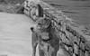 PICT3058 (jeremy tekell) Tags: beagle beagi cardigan welsh corgi mix mutt cute dog