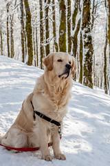 Golden retriever (melanie-pictures) Tags: chien golden neige canon 500d blanc hiver bresse collet forêt vosges