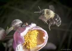 Fly and Bee (Teddy Alfrey) Tags: nature macro nikon bee bumblebee insect anemone pink flight garden flower flyinginsect yellow pollenate
