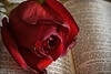 Faded Rose (ertolima) Tags: macromondays imperfection rose flower red blemish bible psalm petal hmm