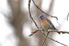 Western Bluebird (Marc Millstein) Tags: westernbluebird bluebird