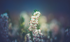 Heather (Dhina A) Tags: sony a7rii ilce7rm2 a7r2 kodak cine ektanar 102mm f27 kodakcineektanar102mmf27 vintage bokeh heather flower