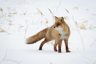 Ezo Red Fox, Vulpes vulpes schrencki