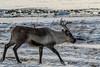 (mimu_13) Tags: artiodactyla artiodactyles caribou cervidae cervidés europe mammalia mammals mammifères no nor norvège norway rangifertarandus reindeer renne troms tromsfylke tromso tromsø samsungnx nx500 rennes