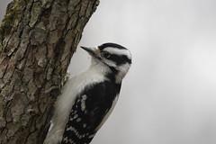 hairy woodpecker (maverikbandit) Tags: woodpecker hairy hairywoodpecker