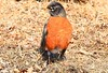 American robin male at Harmony MN 854A4478 (lreis_naturalist) Tags: american robin male harmony fillmore county minnesota larry reis