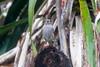 Black Redstart (Phoenicurus ochruros) (BiteYourBum.Com Photography) Tags: dawnandjim dawnjim biteyourbum biteyourbumcom copyright©2018biteyourbumcom copyright©biteyourbumcom allrightsreserved canoneos7d sigma50500mmf4563dgoshsm apple imac5k lightroom6 loweproprorunner350aw uk unitedkingdom gb greatbritain england westsussex worthing black redstart phoenicurus ochruros blackredstart phoenicurusochruros