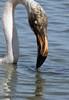 Masque (Puce d'eau) Tags: portrait flamant rose camargue oiseau echassier flamingo phoenicopterus roseus phoenicopteridés