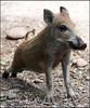 Ready steady go (Fisherman01) Tags: 1tier zoobasel wildschwein boar