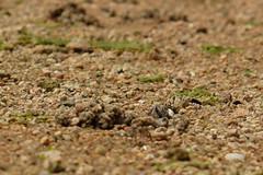 ハクセンシオマネキ (Uca lactea) (Hachimaki123) Tags: 日本 japan 厳島 itsukushima 宮島 miyajima animal crab 動物 カニ fiddlercrab シオマネキ ucalactea ハクセンシオマネキ