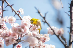 My Neighbor (moaan) Tags: kobe hyogo japan jp bird mejiro japanesewhiteeye ume umeblossom umetree blossom blossoming inblossom brsnch springbranch perch lowangleview fallingformthesky selectivefocus bokeh bokehphotography canon canonphotography utata 2018