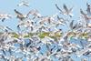 Free wings (OneMarie!) Tags: birds aves birdwatch ite tacna peru humedales nikon d7100 nature beach playa naturaleza alas wings seagulls gaviotas migration migración