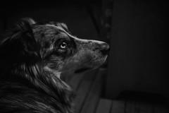 Mellow Sock (flashfix) Tags: march122018 2018inphotos ottawa ontario canada nikond7100 40mm nikon flashfix flashfixphotography dog canine animal pet austrailanshepherd triaustrailanshepherd bluemerle tricolour heterochromia sock monochrome blackandwhite