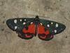 Callimorpha dominula - Scarlet tiger moth - Медведица госпожа (Cossus) Tags: arctiidae arctiinae arctiini callimorpha erebidae медведица пестово 2010