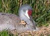All Tucked In (PeterBrannon) Tags: bird crane florda florida gruscanadensis nature nest polkcounty sandhillcrane tallbird wildlife babybird babycrane colts