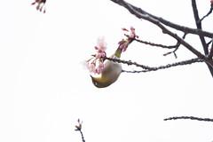 _3188176.jpg (plasticskin2001) Tags: mejiro sakura bird flower