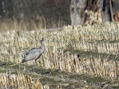P3180341 (turbok) Tags: kranich tiere vögel wildtiere c kurt krimberger
